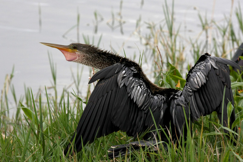 Anhinga, maybe a juvenile female, with wings still mostly black.