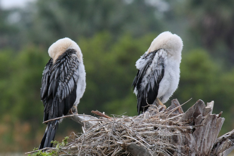 Two Anhinga chicks sleeping with their heads tucked beneath their wings.