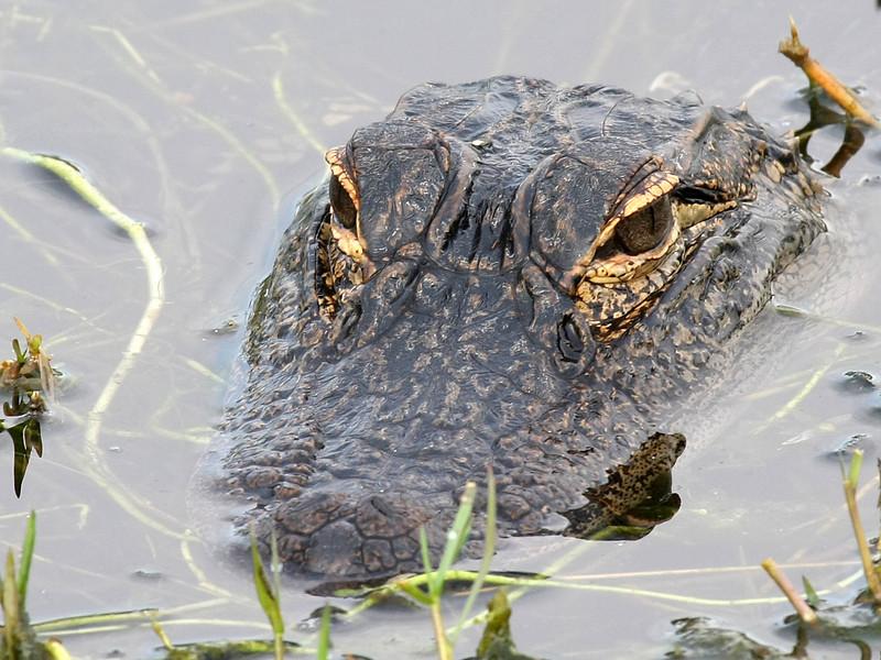 Alligator head close-up.