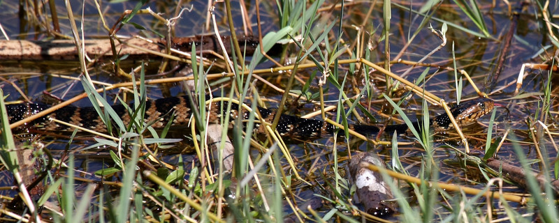 I believe this is a Florida Banded Snake. He/she was strikingly stealthy swimming along the edge of the pond in search of food.