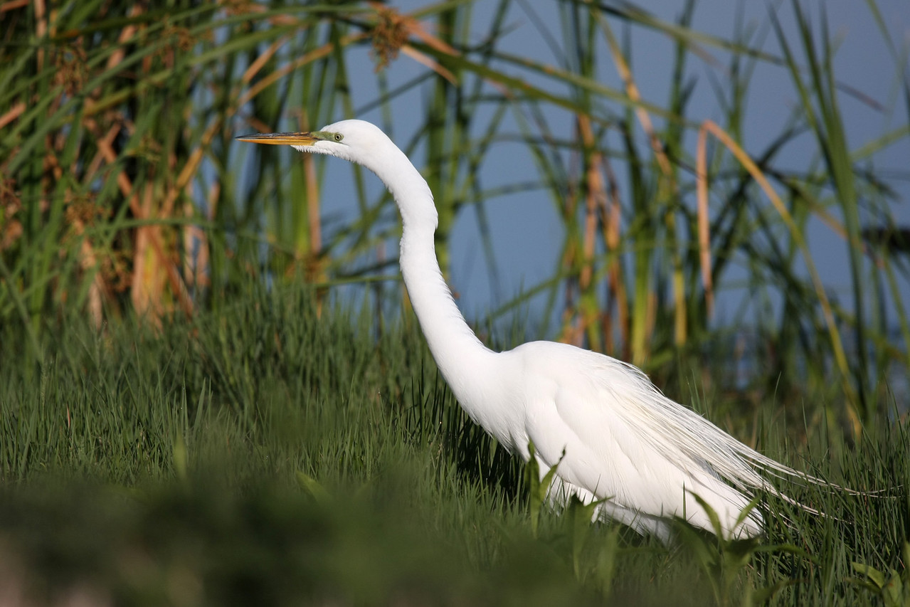 I believe this is a Great Egret in breeding plumage with long tail plumes and green lores.