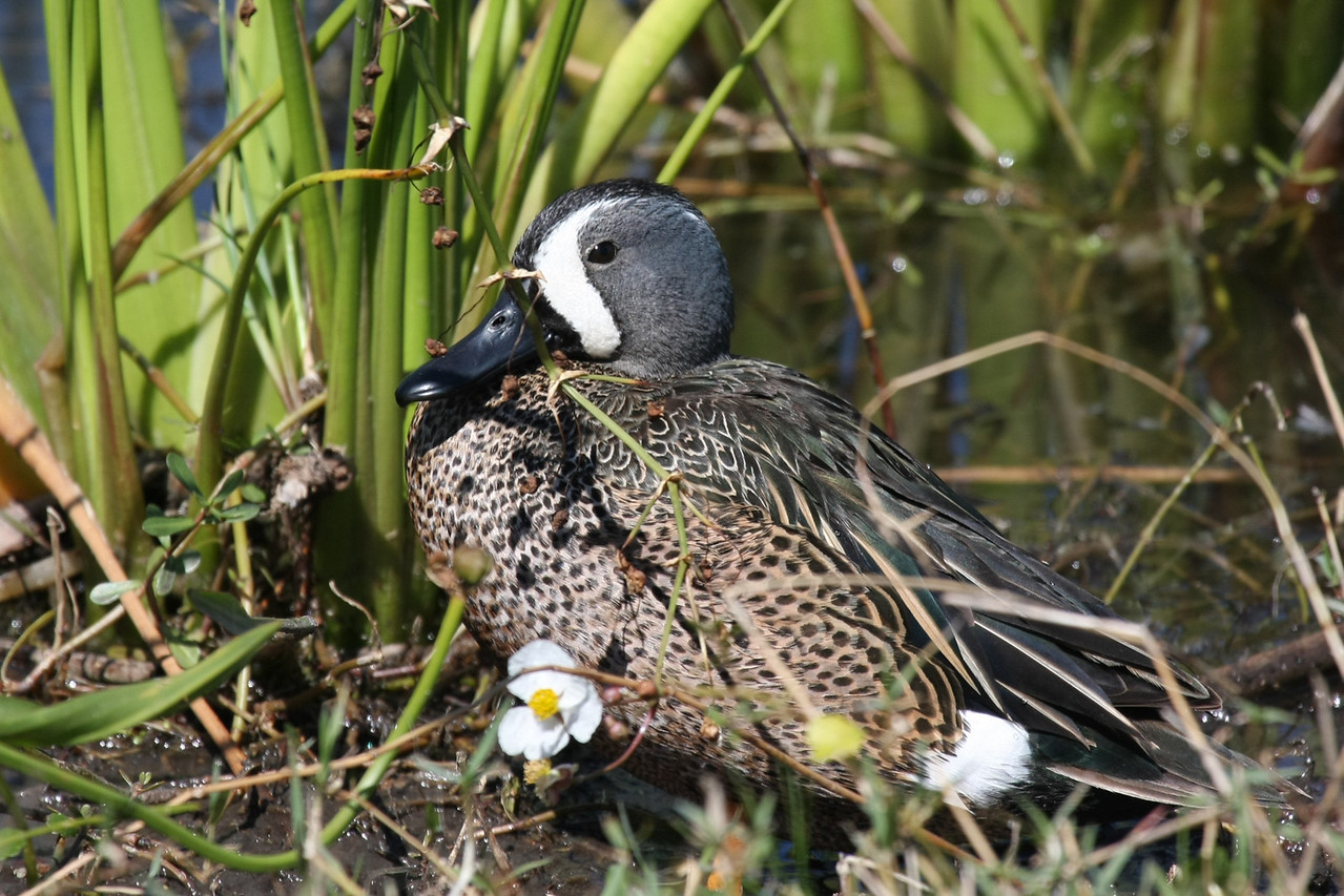 Male Blue-winged Teal.