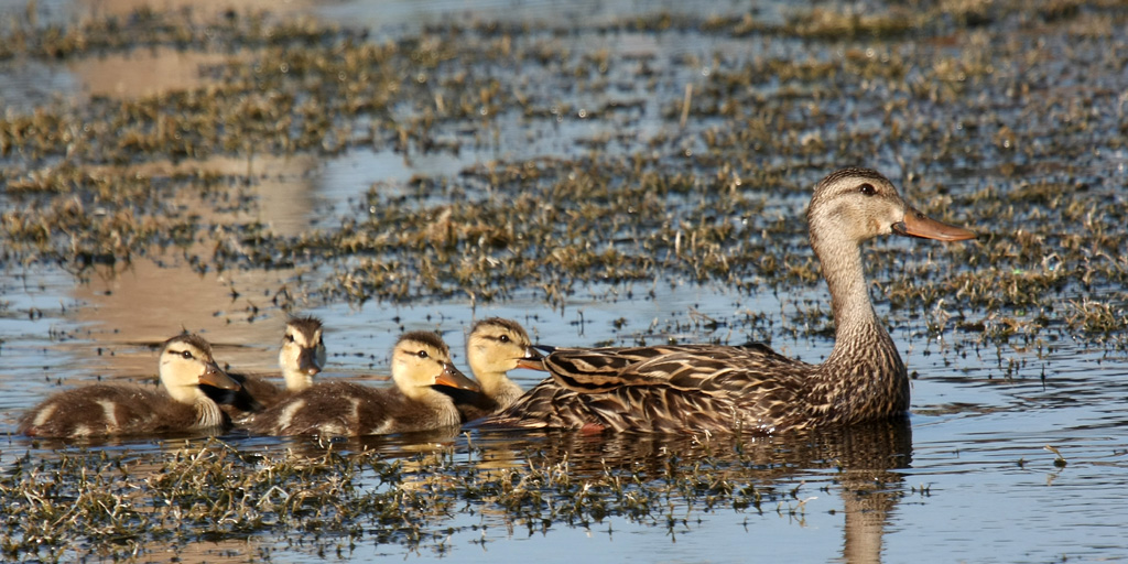 Here we have Momma Mottled Duck and her four chillen. The second to last duckling has discovered me. I'm glad he didn't tell his Momma or I would never have gotten this shot.