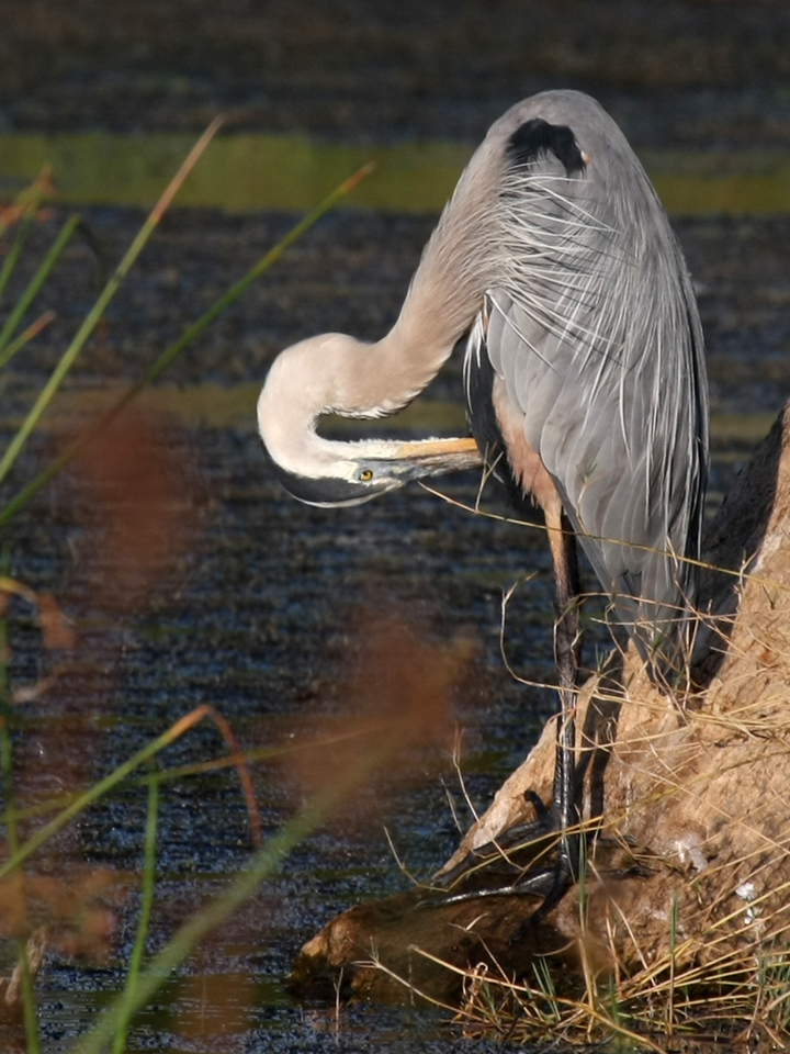 Between scans the Great Blue Heron preens, or maybe goes after an itchy bug.