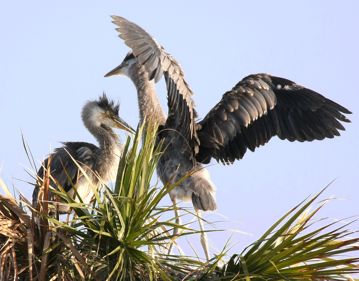 Two juvenile Great Blue Herons while away the time in their nest at the top of a palm tree, waiting for Mom or Dad  to bring them something to eat.