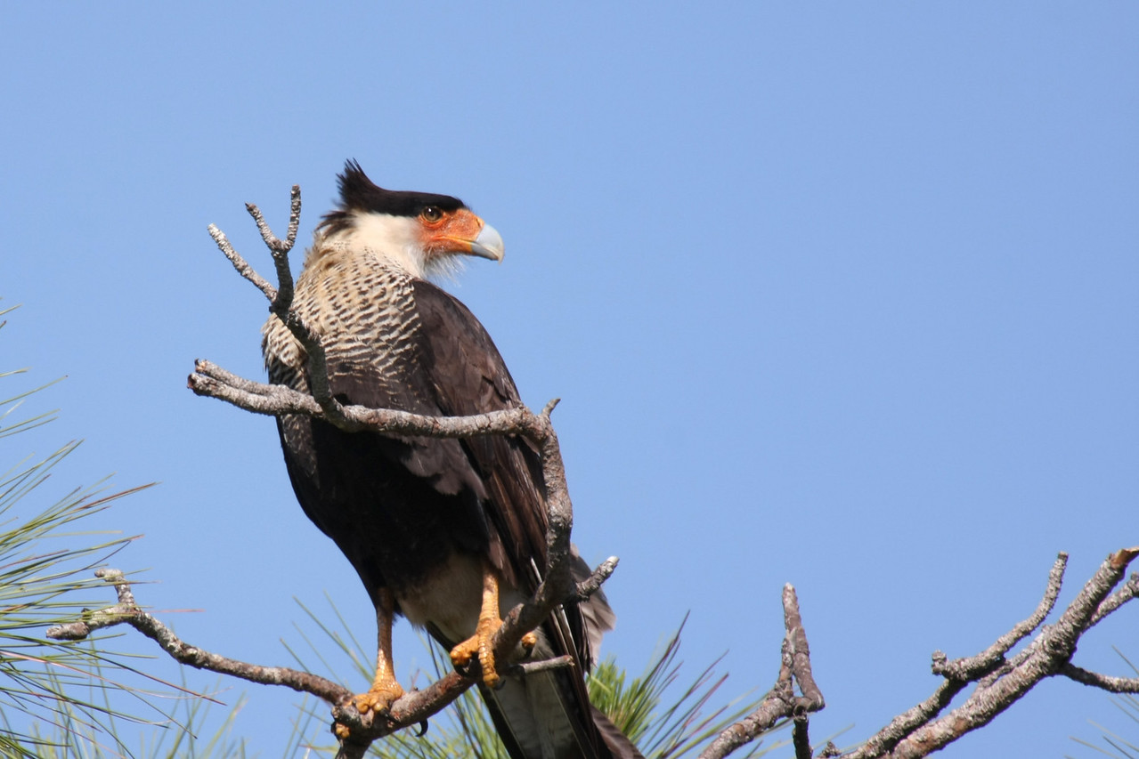 Finally I captured a good photo of a Crested Caracara. This bird has three chicks, which, as juveniles, have pink on their beak where the adult has orange. According to the Brevard County Natural Resources Management Office there are only 400 adult birds in Florida. In Brevard County they are generally found in an area between Interstate 95 and the St. Johns River, which is exactly where the Viera Wetlands lies.