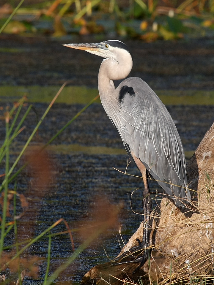 A Great Blue Heron scans the territory for a sign of food.