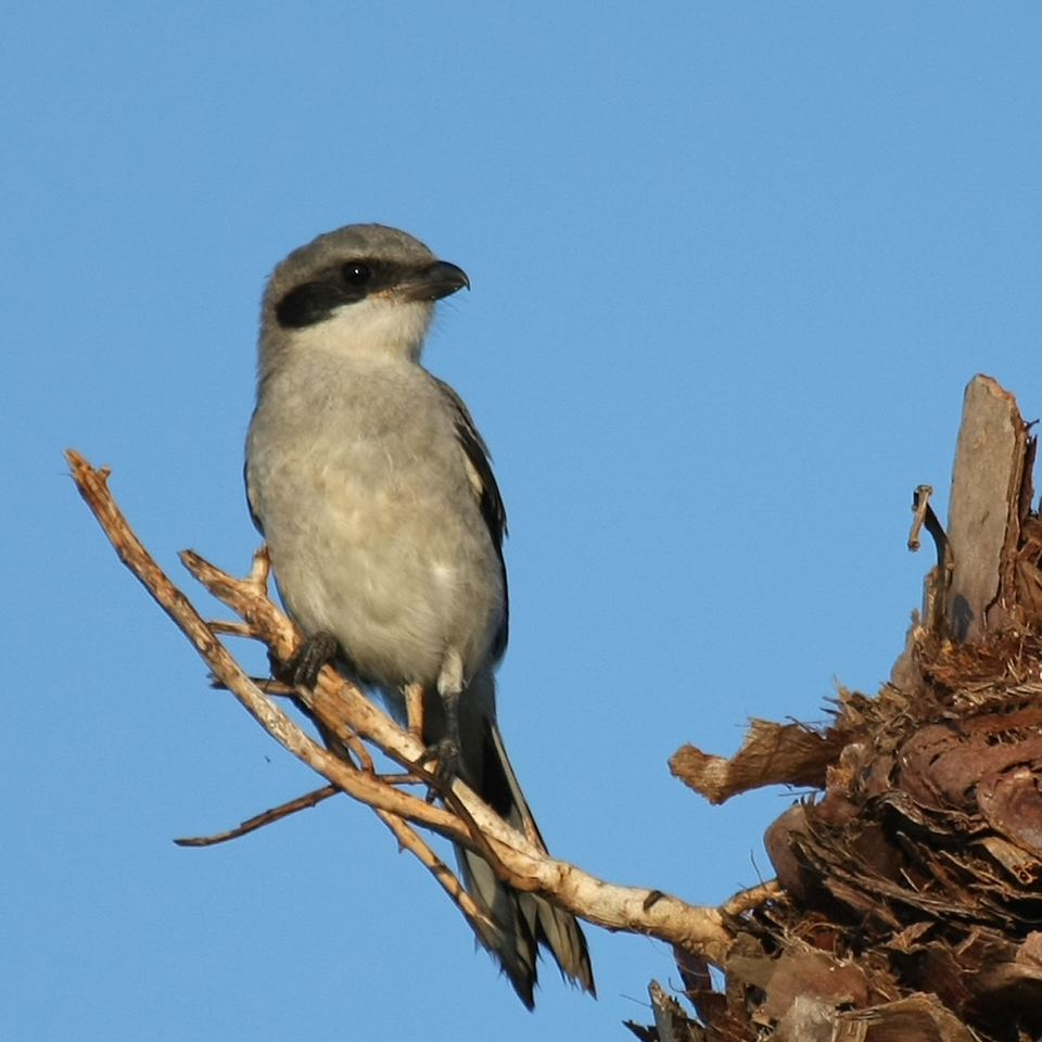 A Loggerhead Shrike takes advantage of a perfect hunting perch at the top of a truncated palm tree.
