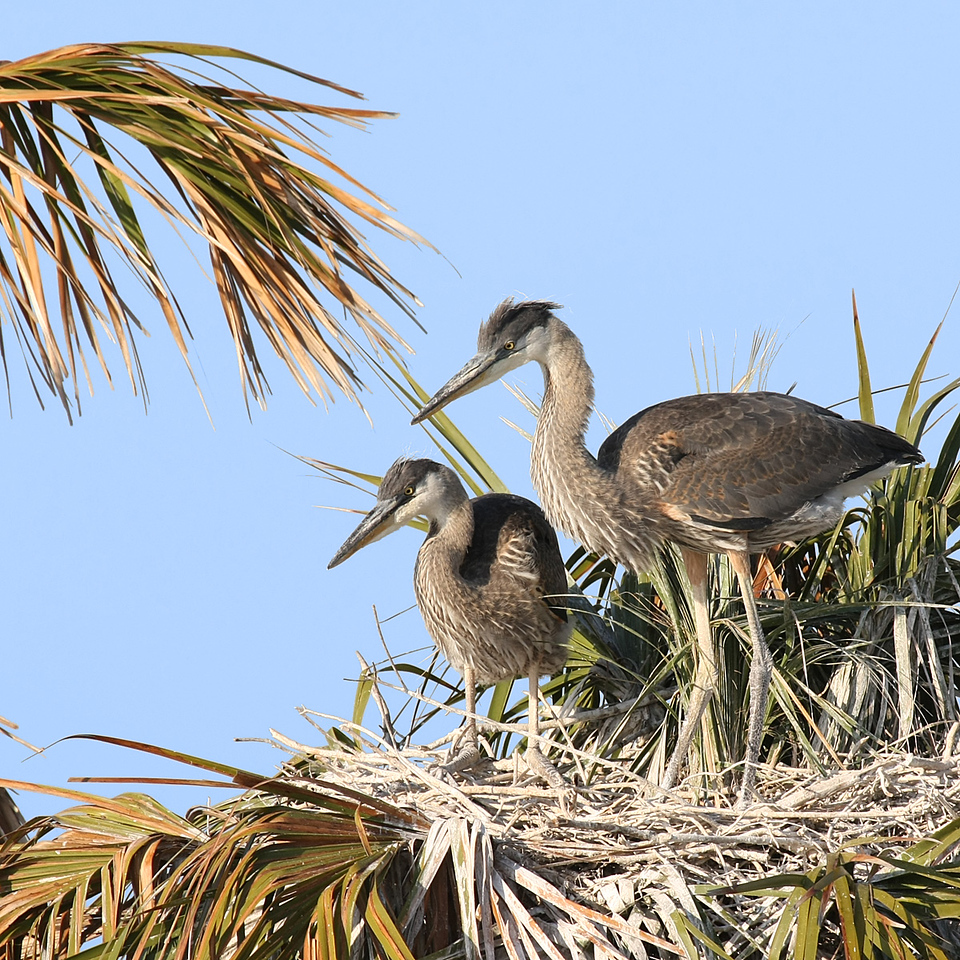 Two other Great Blue Heron chicks in another nest at the top of a palm tree also wait for their Mom or Dad to bring them something to eat.