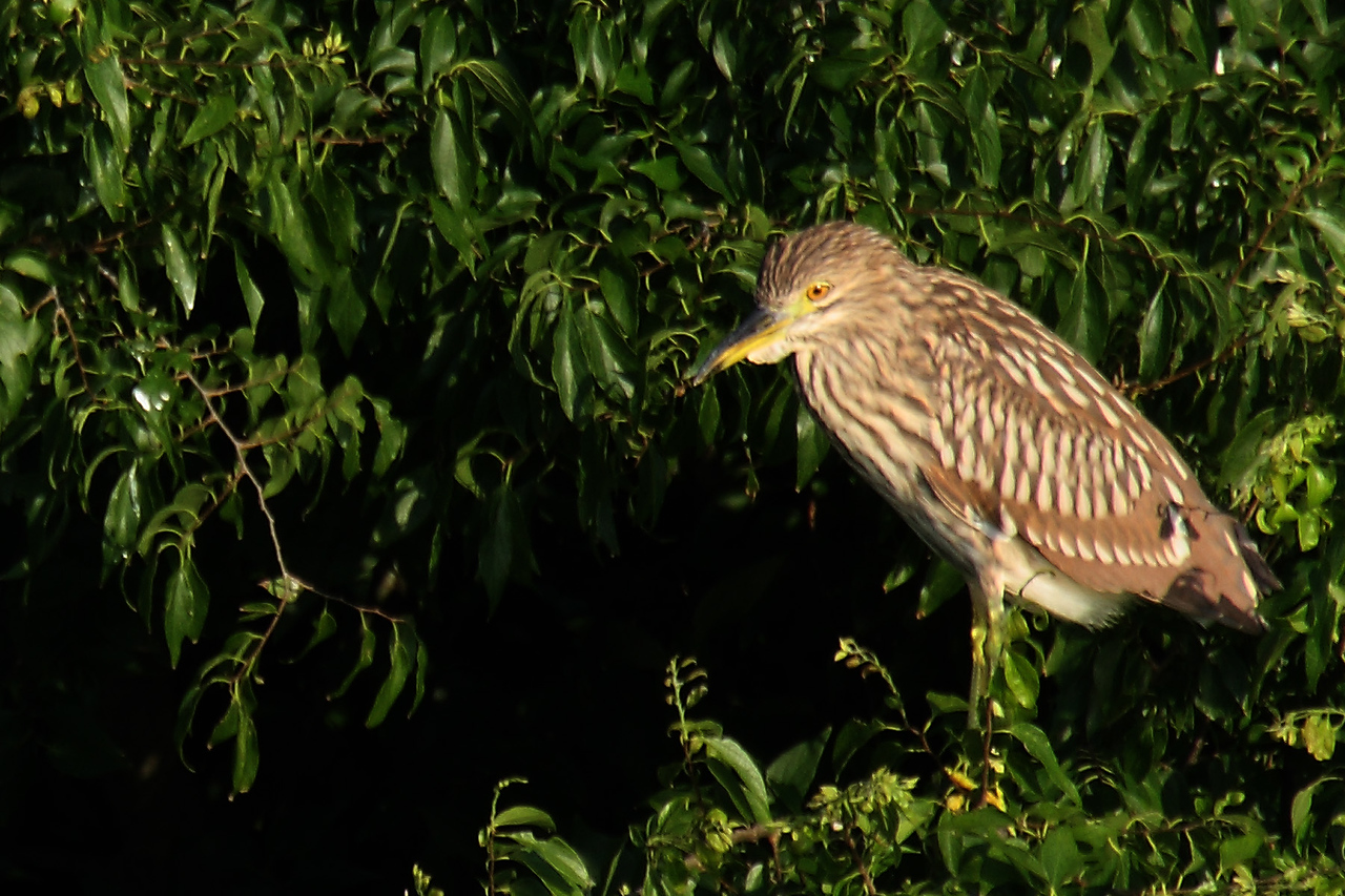 6514 This American bittern (NOT! See below.) surprised me by standing in a tree, where he is obviously obvious (sorry), instead of among the reeds, where his camoflage would make him almost impossible to detect. I stand perplexed by the endless surprises of nature. AND NOW I KNOW WHY! I just saw today (06/25/09) in Nature Photographer magazine a photo of this bird and it is NOT an American Bittern, but a juvenile Black-crowned Night Heron. They look similar, but to the astute observer (not I, in this case) their differences are apparent. I've been a bird watcher for 45 years and I still get bamboozled by them. Dang!