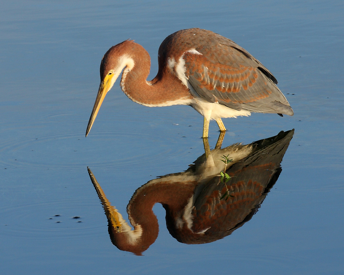 6399 A juvenile tri-colored heron reflected by the early morning light.