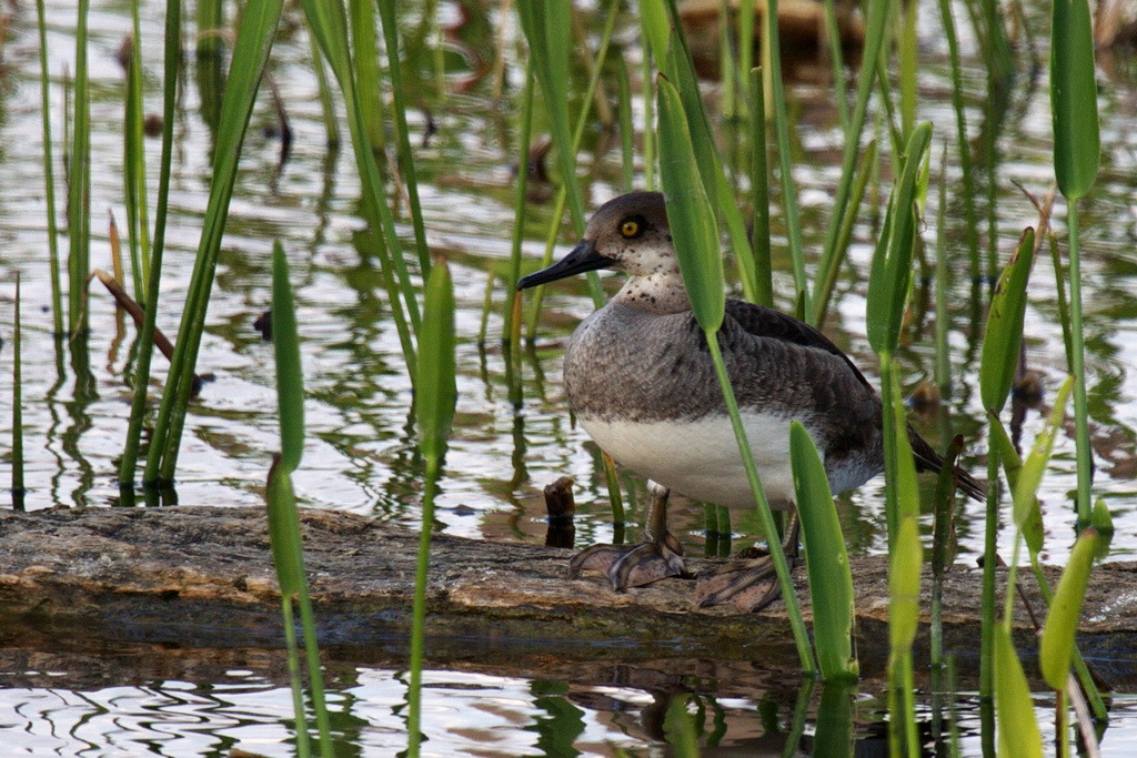 """2959 I had to go to  <a href=""""http://www.birdforum.net"""">http://www.birdforum.net</a> to identify this cutey. The body looked like a merganser, but the head, beak, and neck confused me. I was told this is a first year male hooded merganser. I accept that since I have no reason to think otherwise."""