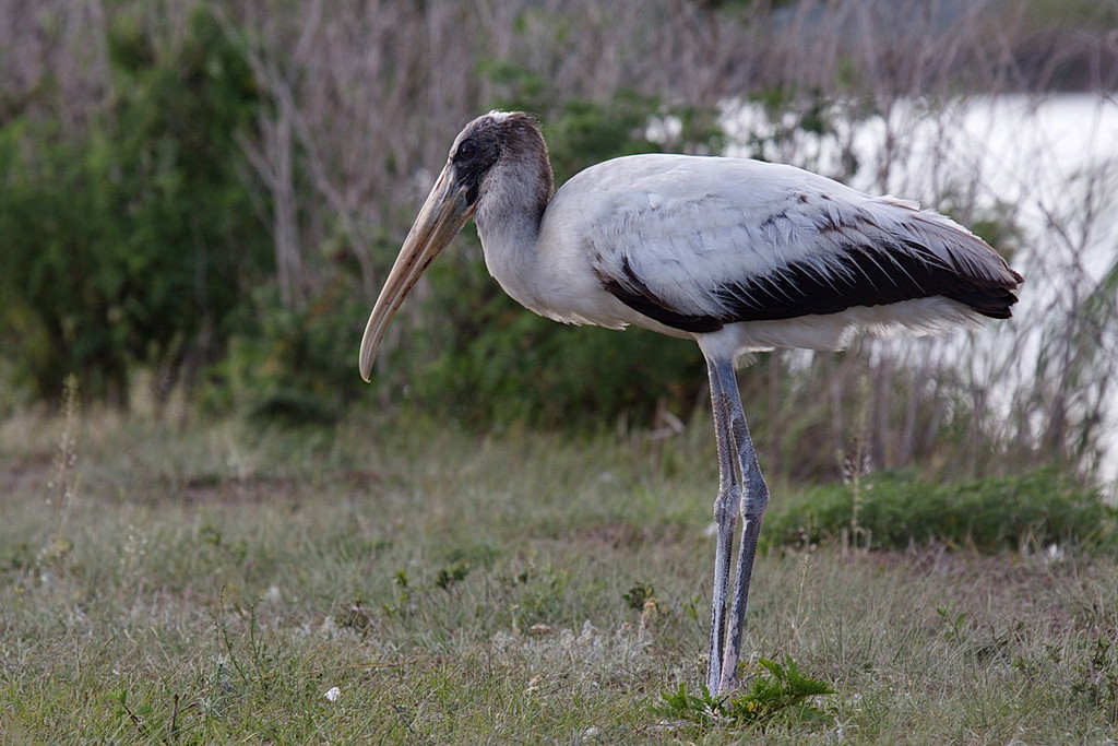 2933 A first-year wood stork. As it grows to adulthood it will lose the feathers on its head and neck, to expose its skull and skin. See next photo.