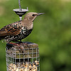 Sept 21, 2012 - Europeon Starling (juv)