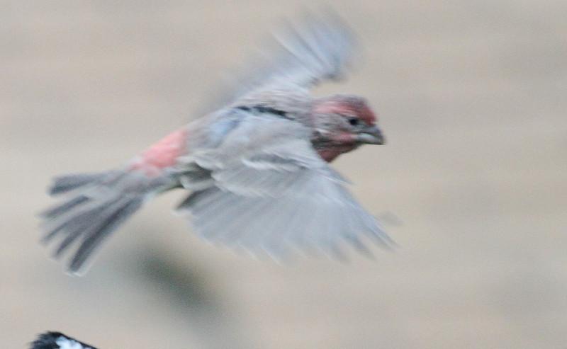 Sept 21, 2012 - House Finch