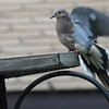 Sept 21, 2011 - Mourning Dove