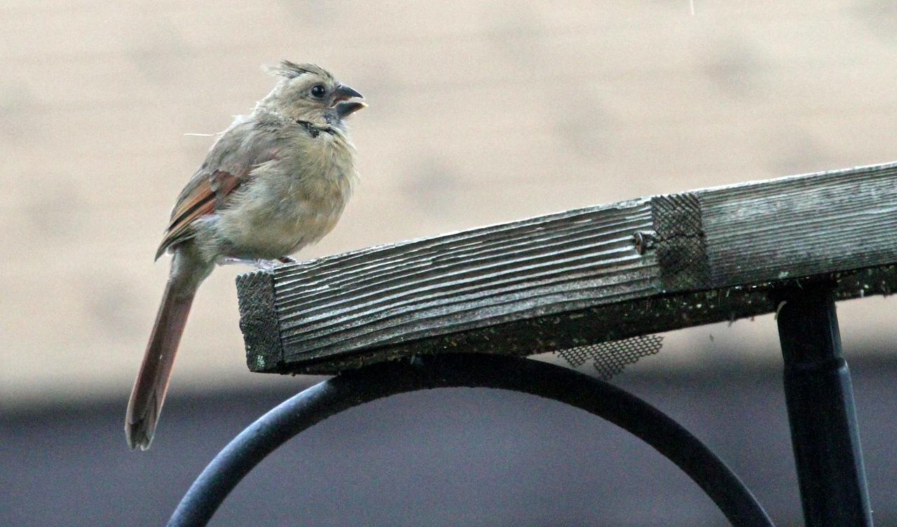 Sept 21, 2012 - Northern Cardinal (juv)