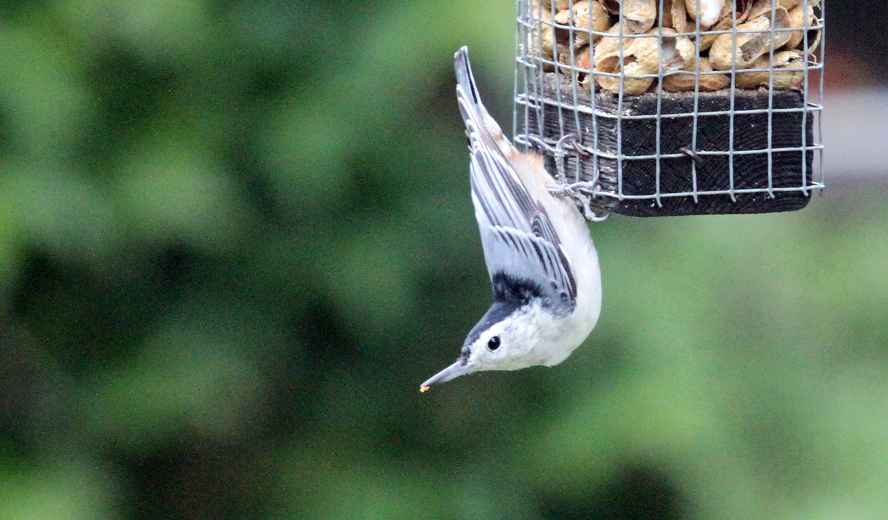 Sept 21, 2012 - White-breasted Nuthatch