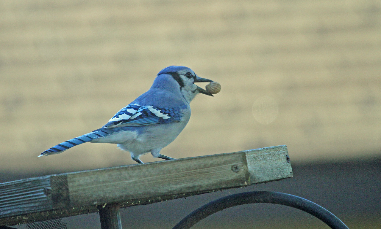 Sept 21, 2012 - Blue Jay