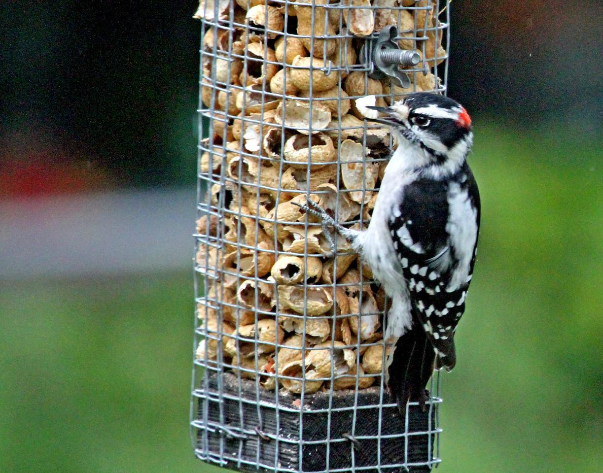 Sept 21, 2012 - Downy Woodpecker