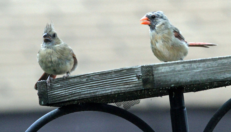 Sept 21, 2012 - This looks like two juvenile Northern Cardinals, one with a black beak and the other whose beak is red-orange. According to Sibley this happen between April and September.