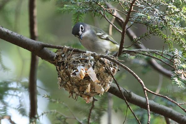 Vireos, Gnatcatchers, Flycatchers, Kingbirds,