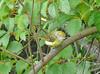 White-eyed Vireo,