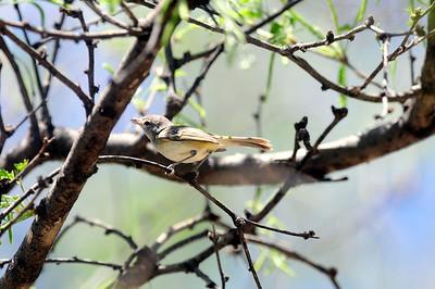 Arizona subspecies-Patagonia, AZ 04/30/2009