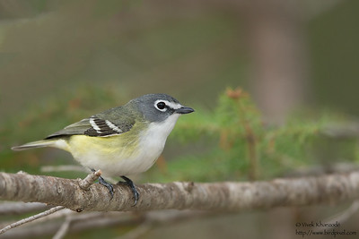 Blue-headed Vireo - Upper Peninsula, MI, USA