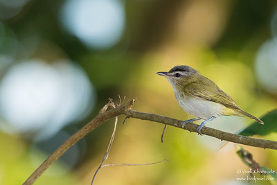 Red-eyed Vireo - Record - Mindo, Ecuador