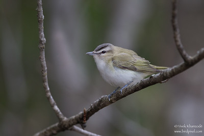 Red-eyed Vireo - Upper Peninsula, MI, USA