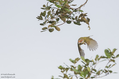 Rufous-browed Peppershrike - Record - Crooked Tree, Belize
