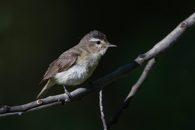 Warbling Vireo - Yuba Campground, Hwy 49, CA, USA