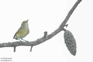 White-eyed Vireo - Record - Crooked Tree, Belize
