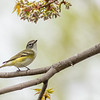 Blue-headed Vireo, Prince Edward Point National Wildlife Area, Ontario