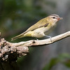 Red-eyed Vireo, Prince Edward Point National Wildlife Area, Ontario
