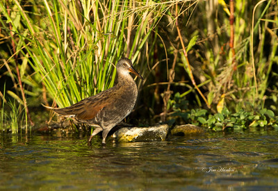 Virginia Rail (Rallus limicoli) comes out to visit