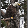 Virginia birds : Birds in Virginia including NBG Eagles