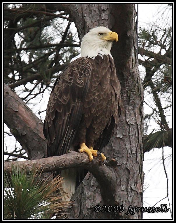 Female bald eagle<br /> Norfolk Botanical Garden