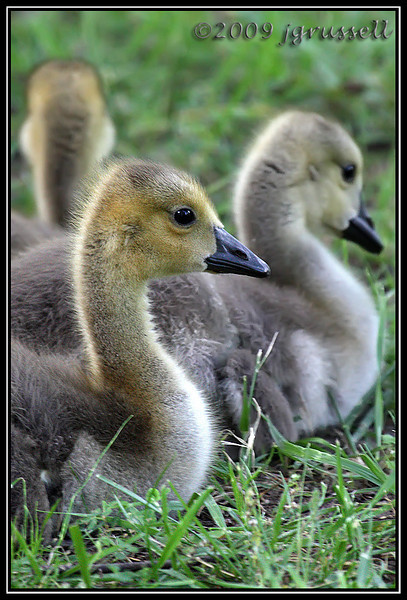 Goslings<br /> Norfolk Botanical Gardens