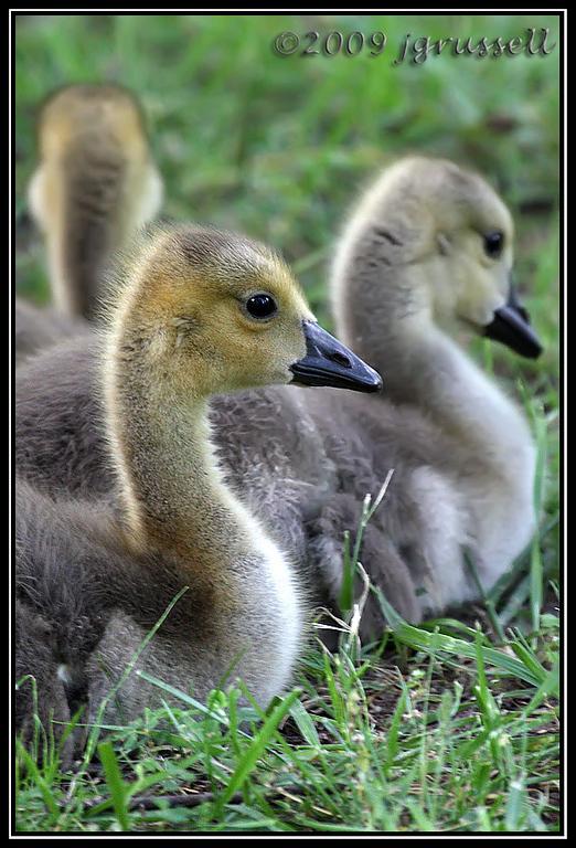 Goslings<br /> Norfolk Botanical Gardens