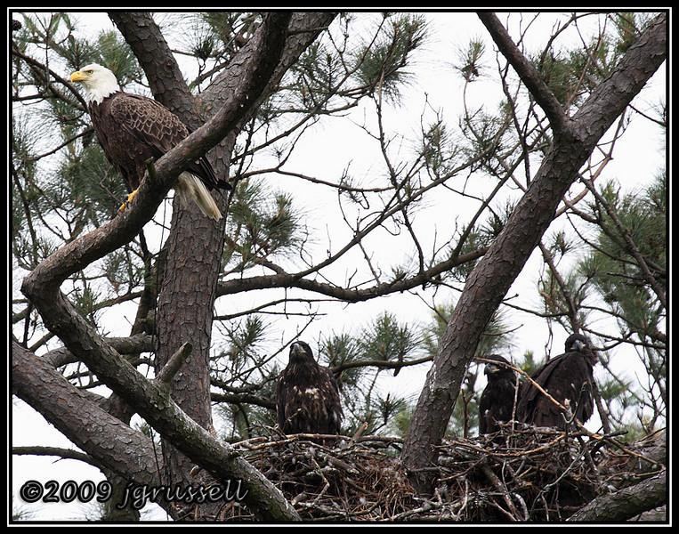 Bald eagle and her eaglets<br /> Norfolk Botanical Garden