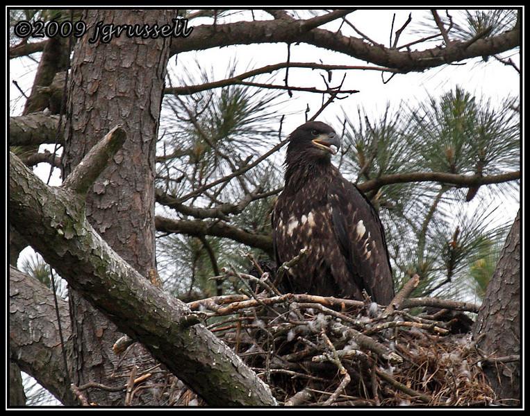 Eaglet<br /> Norfolk Botanical Garden