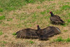 Turkey Vulture (b2651)