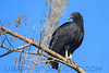 Black Vulture (b2642)