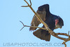Turkey Vulture (b2653)
