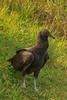 Black Vulture (b2641)