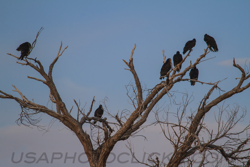 Black Vulture (b2644)