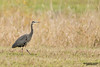 Great blue heron (Ardea herodias). The Great Blue Heron is a large wading bird in the heron family Ardeidae.