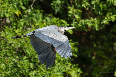 Great blue heron (Ardea herodias) in flight. The Great Blue Heron is a large wading bird in the heron family Ardeidae.
